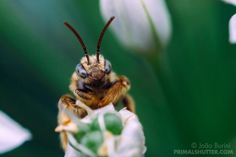 Wild bee on a garlic flower