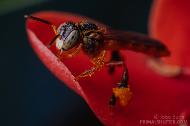 Jataí bee on Ixora flower