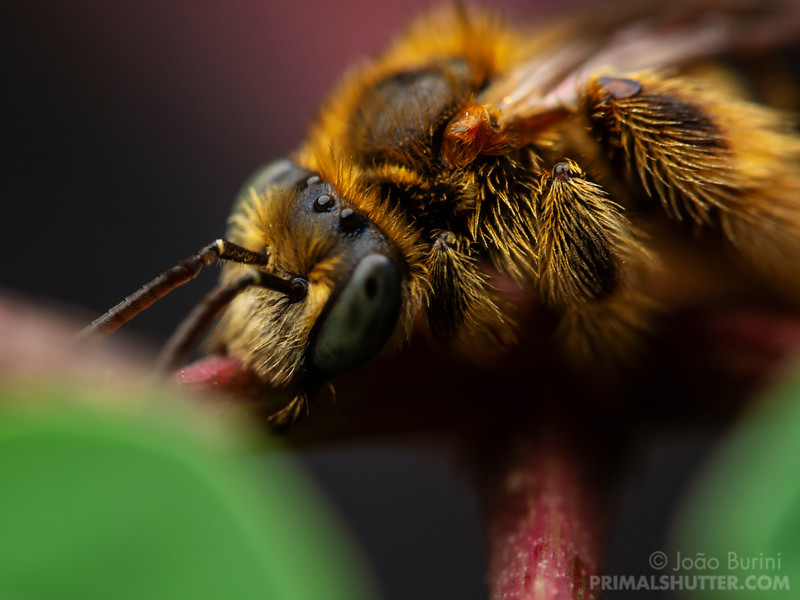 Brazilian wild bee sleeping
