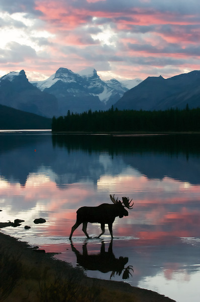 """BEHIND THE IMAGE:  MOOSE AT SUNRISE  Moose at Sunrise - Jasper National Park, Alberta, Canada, FILE# 0607437  <a href=""""http://www.tom-hill.biz/Galleries/Mammals/Ungulates-Deer-Bison-Moose/20938259_ZxbZVn#!i=1663912950&k=fwrpwfj&lb=1&s=A"""">  Link To Original Image </a>  Sometimes all the planning in the world will not prepare you for what mother nature throws in front of you.  I was leading at a Charles Glatzer photography workshop at Jasper National Park in Alberta Canada. A normal staple to this park is Maligne Lake located about a hour drive from Jasper town-site. By the time of this photograph, we'd been to this spot a couple times in the morning and even shot this particular bull and the focus of his interest, a cow. We all had been very successful previously and really wasn't anticipating any """"magic"""" this particular morning.  Normally, when we drive around Jasper NP, we caravan in a couple of vehicles to give everyone plenty of room for themselves and their photo gear. Usually, the instructors are in the lead vehicle and everyone is connected with high-tech walkie-talkies. The normal practice is the lead vehicle sees something and then tells everyone else in the two or three vehicle caravan what's up and what to do next.  On this particular morning it was overcast. We were a little late getting to Malign Lake and we could just make out the overcast skies during the drive. As we arrived at the spot where we'd seen this bull and his cow the previous day, there he was, as expected but unfortunately munching very un-photogenically on the grass on the shore. The geography situation here was the bull was munching on the grass next to the mouth of the Maligne river with a little automobile bridge crossing it. The photo situation was severe look-down. Shooting the top of his head definitely wasn't what we were planning. With the cow up river, away from the lake, and the bull seemingly content to just eat grass on the shore, we got out of our vehicles with absolutely no """