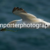 Gannet in flight with nest building material.