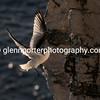Juvenile Kittiwake coming to land at Bempton Cliffs, Yorkshire.