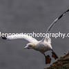 Gannet taking off at Bempton Cliffs, Yorkshire.