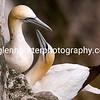 Gannets at Bempton Cliffs.