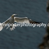 Gannet coming to land at the Cliffs of Bempton.