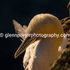 Gannet in the glow of the dawn golden hour.