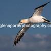 Gannet in flight at Bempton Cliffs, Yorkshire.