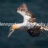 Immature Gannet in flight at Bempton Cliffs, Yorkshire.