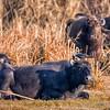 Water Buffalo (Bubalus bubalis)