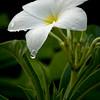 Glenn Tamblingson - White Plumeria