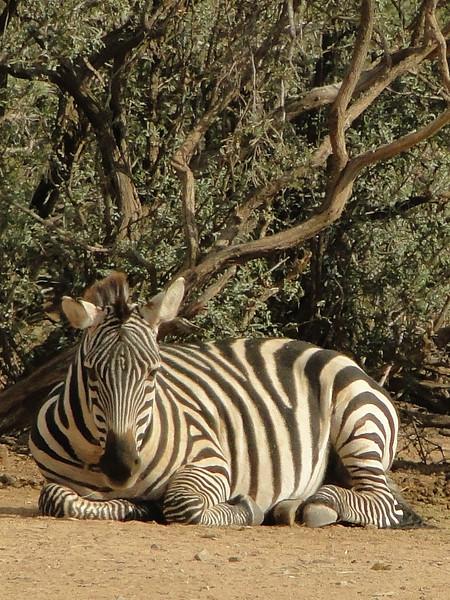 Zebra at Rest - Sally Nelson