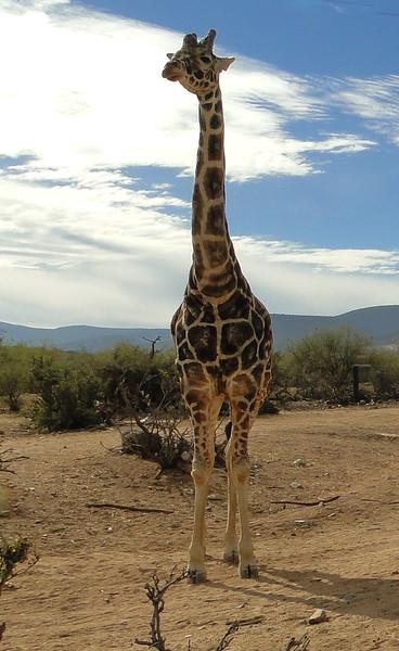 Giraffe 3 - Sally Nelson