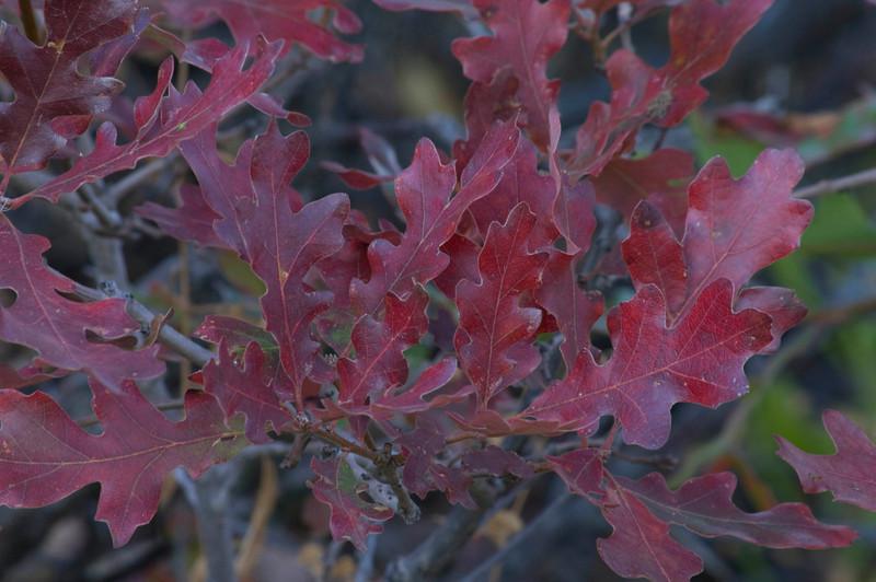 Utah Oak