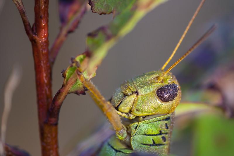 Bill Dahl - Differential Grasshopper, Melanoplus differentialis (Acrididae)