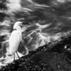 Snowy Egret, Egretta thula (Ardeidae)