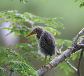 Juvenile egret sitting in a tree during the rain in Costa Rica