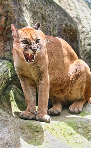 Snarling puma in Costa Rica
