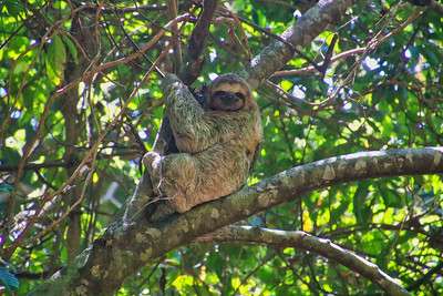 Wild Costa Rica Sloth hanging out in a Tree