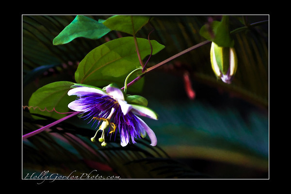 My passion flowers (in my garden).