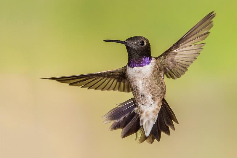 Black-chinned Hummingbird - 2