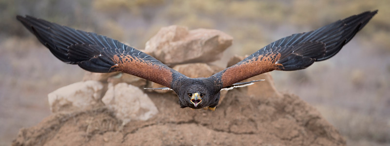 Screamer: Harris Hawk