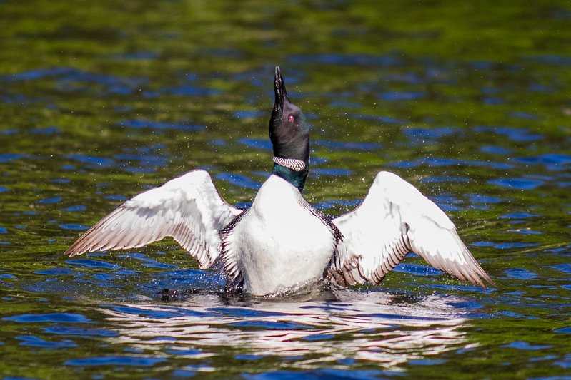 Solo Loon in the Water