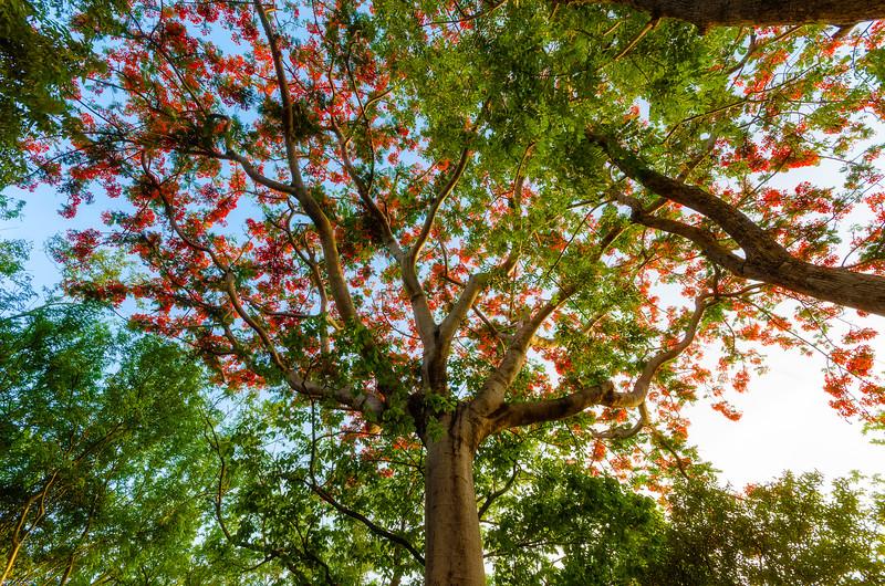 Blooming Guanacaste Tree