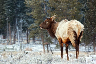 An elk stares on as snow lightly falls on this early spring morning in Yellowstone National Park.