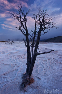 Sunrise over the dead trees of Mammoth Hot Springs in Yellowstone National Park.