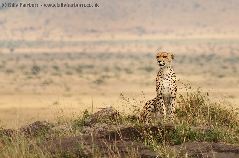 Ridge Cheetah    Masai Mara, Kenya   A male cheetah looks over the Mara plains from a ridge-top viewpoint