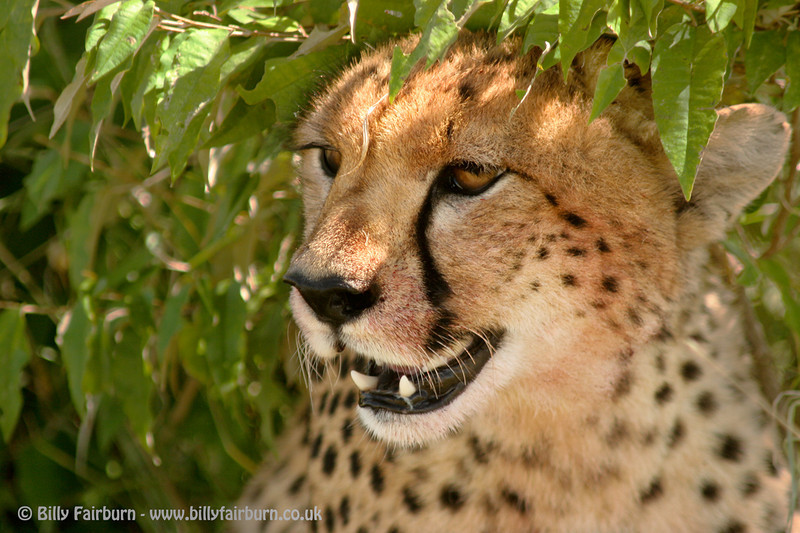 Cheetah Portrait  Masai Mara, Kenya  A young male cheetah sheltering from the mid-day heat in the shade of a bush