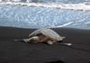 "Green Sea Turtle (Chelonia mydas) - known in Hawaii as the ""honu"""