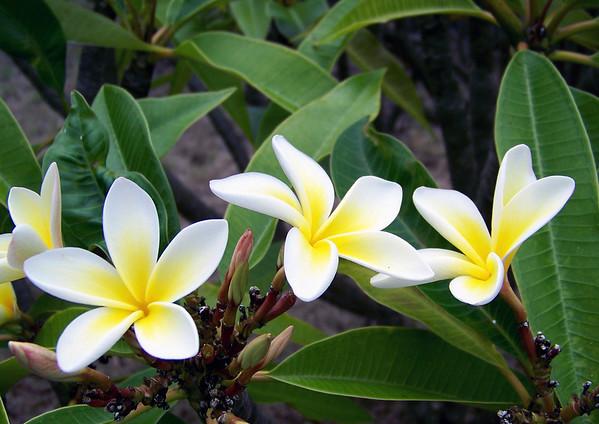 Plumeria (Plumeria alba) - also called White Frangipani - a tree whose flower pedals are used to make leis