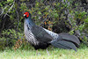 Kalij Pheasant (Lophura leucomelanos) - males have a primary dark black plumage, while the female's is brown - they grow to about 29 in. (74 cm) long (head to tail feather tip) - this bird species is native to the foothill forests of the Himalayan Mountains, around Napal - they were introduced into Hawai'i as a game bird in 1962