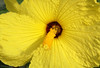 Beyond the stigma and anthers - to the petals of the Hawaiian Yellow Hibiscus (Hibiscus brackenridgei) - the state flower of Hawai'i