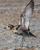 Pacific Golden Plover (Pluvialis fulva) - the powerful wings which transports this species of bird, from here on the Big Island Hawai'i, about 2,500 mi. (4,023 m) northward, to Alaska where they breed during the summer months each year