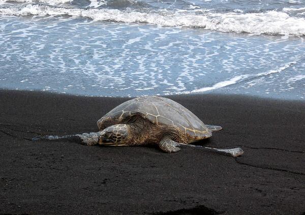"Green Sea Turtle (Chelonia mydas) - know in Hawaii as the ""honu"""
