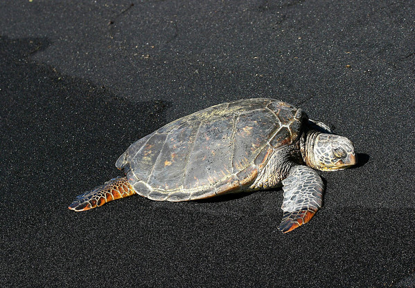 Green Sea Turtle (Chelonia mydas) - resting on the ocean's wave-line at Punalu'u Black Sand Beach - this species grows to about 4 ft. (1.2 m) long, and weigh about 400 lb. (181 kg)