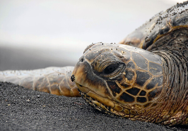 Green Sea Turtle (Chelonia mydas) - displaying its serrated upper beak.