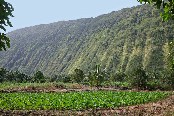 """Across a kalo field, which is primarily kept flooded - kalo is the Hawaiian for """"taro"""", a root vegetable that is cultivated for its edible starchy corm or tubar) - Poi,  a thick purple paste made from pounding taro root (one of the most nutritious carbohydrates known), and is the staple starch food of the Hawaiians<br /> - with the northwestern cliff walls of the Waipi'o Valley beyond - Kohala district"""