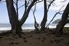 Waipi'o Beach - and the smooth water-eroded basaltic igneous volcanic rocks, among the pine needles - Kohala district
