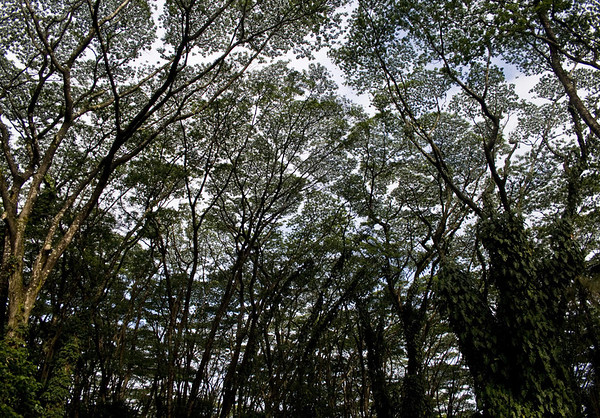 Canopy of the Albesia Trees (Albizia falcataria) - Nanawale Forest Reserve - Lave Tree State Park - Puna district