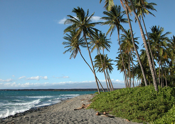 Coconut Palms (Cocos nucifera) along the beach, at the mouth of the Kiholo Bay, viewing northeastward - with the Kohala Volcano along the distal horizon in the clouds - Kohala district