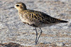 Pacific Golden Plover (Pluvialis fulva) - they migrate around  2,500 nonstop mi. (4,023 km) to Alaska in the summer to breed - plumage changes to dark gold and black upper - they are a wader bird that feeds mainly on bivalves, molluscs, crustaceans, and worms - they grow to around 10 in. (25 cm) tall