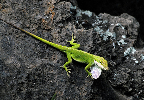 Green Anole (Anolis carolinensis) - also called the American Anole - they grow to about 8 in. (20 cm) long, snout to tail tip - a male is distinguished by the dewlap (the arc-shaped flap of skin protruding from the neck), that is used for attracting females and for territorial dominance displays