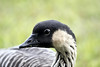 Nene - Hawaiian Goose - the characteristic male markings black head and heavily furrowed neck plumage - the state bird of Hawai'i