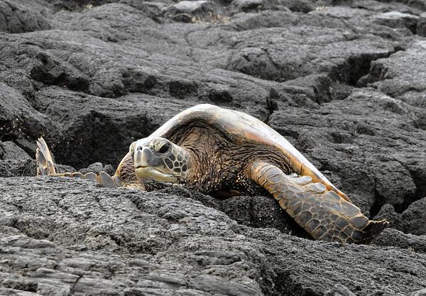 Green Sea Turtle (Chelonia mydas) - resting upon the igneous lava rock