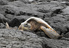 Green Sea Turtle (Chelonia mydas) - resting upon the igneous lava rock