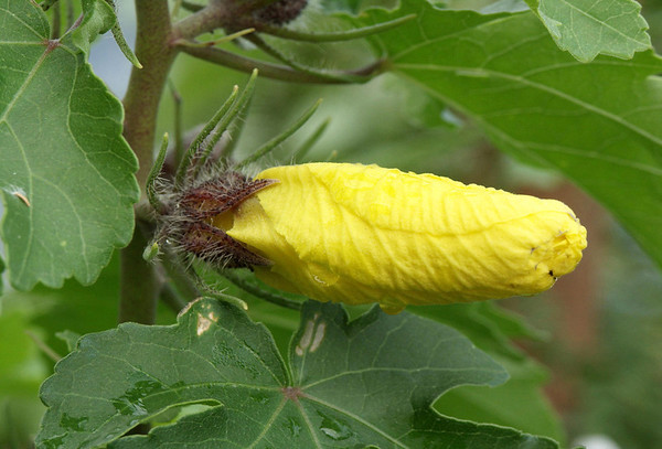 The budding bloom just beginning to protrude from the flower bud - of a Hawaiian Yellow Hibiscus (Hibiscus brackenridgei) - the state flower of Hawai'i