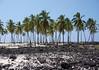 Coconut Palms at Pu'uhonua (Place of Refuge) - Honaunau Bay - Kona district